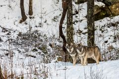 Two beautiful grey wolves, Canis lupus, in a winter forest with snow. Two beautiful grey wolves, Canis lupus, in a forest in a zoo in Norway. Winter and snow Royalty Free Stock Images
