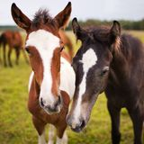 Two beautiful horse. In nature Stock Photography