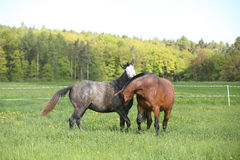 Two beautiful horses fighting Stock Photos