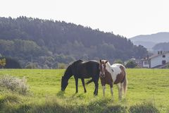 Two beautiful horses. Two beautiful horses grazing on a green meadow Stock Photography
