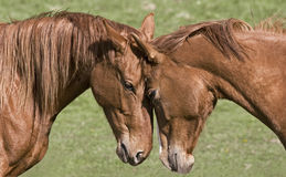 Two beautiful horses Royalty Free Stock Photography