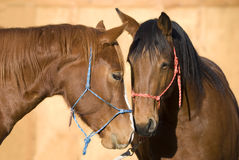 Two Beautiful Horses Greeting. A sorrel (chestnut) horse and a bay horse greeting each other with interest and affection Royalty Free Stock Photos