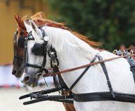 Two beautiful horses harnessed Stock Photos