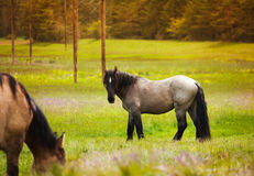 Two beautiful horses near forest Royalty Free Stock Image