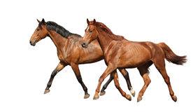 Two beautiful horses running isolated on white Stock Photo