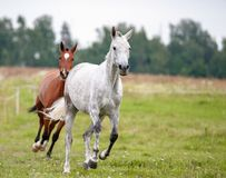 Two beautiful horses running. In summer field Royalty Free Stock Photo