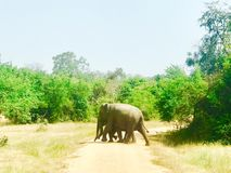 Wild eliphants crossing the road. royalty free stock photography