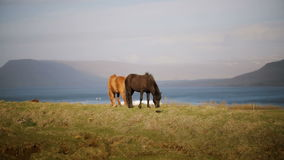 Two beautiful Icelandic horse eating graze, grazing on the field. Farm or ranch outside the city with wild animals. Scenic landscape of the mountains, sea and stock footage