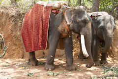 Two beautiful Indian costs an elephant with a seat for passengers waiting for people Royalty Free Stock Photo