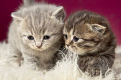 Two beautiful kittens. Studio picture of a cute little kittens on red background Stock Image
