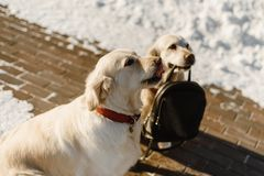 Two beautiful Labrador training royalty free stock photos
