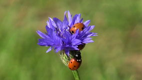 Two beautiful ladybug ladybird on cornflower blossom stock video footage