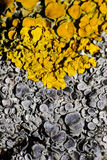 Two beautiful lichens Royalty Free Stock Photo