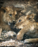 Two beautiful lion cubs Stock Photo