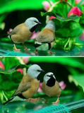 Two beautiful little birds Royalty Free Stock Photography