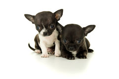 Two beautiful little Chihuahua puppy playing stock photography