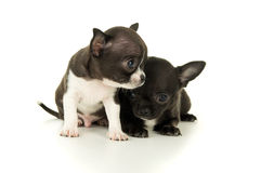 Two beautiful little puppy stock image