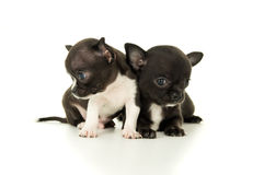 Two beautiful little puppy play royalty free stock photography