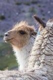 Two beautiful Llamas, Argentina Stock Images