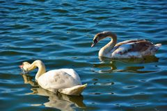 Two beautiful lovely swans on a blue lake Royalty Free Stock Photo