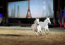 Two beautiful lusitano horses galloping on sand Royalty Free Stock Image
