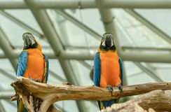 Two beautiful macaw parrots perched on branch stock images