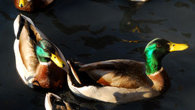 Two beautiful Mallard Ducks Royalty Free Stock Image