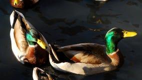 Two beautiful Mallard Ducks. Two colorful mallard ducks resting on a pond Royalty Free Stock Image