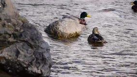 Two beautiful mallard ducks in the pond in wonderful gray water. Cute ducks swim along the river in the spring. Mallard ducks in the pond stock video footage
