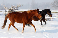 Two beautiful mares having fun in winter snow Royalty Free Stock Photography