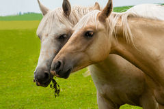 Two Beautiful Mares Royalty Free Stock Images