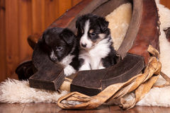 Two beautiful month old puppy sitting on sheepskin inside the old clamp Royalty Free Stock Photos