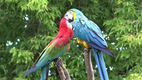 Two beautiful neo tropical macaw genus colorful plumage ara parrot bird long narrow tail playing in close up 4k shot stock video footage