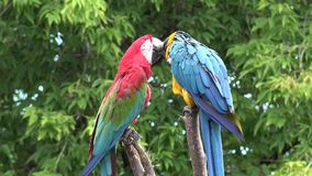 Two beautiful neo tropical macaw genus colorful plumage ara parrot bird narrow long tail playing in 4k close up shot. Two beautiful neo tropical macaw genus stock video footage