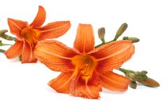 Two beautiful orange lily flower isolated on white Royalty Free Stock Image