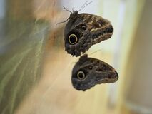 Two Beautiful Owl butterfly close up in museum