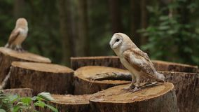 Two beautiful owls (tyto alba) sit on a stump stock video footage