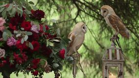 Two beautiful owls (tyto alba) sits on the lamps stock footage