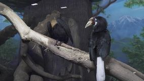 Two beautiful Papuan hornbill sitting on branch stock footage video stock video footage