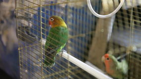 Two beautiful parrot actively move in a cage. Two beautiful parrot actively move in cage stock footage