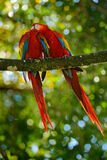 Two beautiful parrot on tree branch in nature habitat. Green habitat. Pair of big parrot Scarlet Macaw, Ara macao, two birds sitti Royalty Free Stock Image