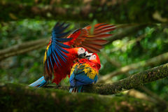 Two beautiful parrot on tree branch in nature habitat. Green habitat. Pair of big parrot Scarlet Macaw, Ara macao, two birds sitti. Ng Stock Image