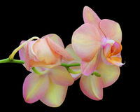 Two beautiful pastel orchids close up on a black background. Two pastel colored orchids attached to a vine that is on a black background Royalty Free Stock Photography