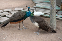 Two beautiful peacocks Stock Photos
