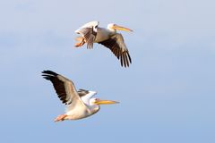 Two beautiful pelecanus onocrotalus flying Royalty Free Stock Image