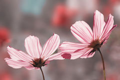 Two beautiful pink cosmea blossoms stock photography