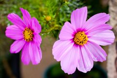 Two beautiful pink cosmos flowers Stock Image