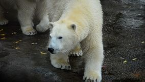 Two beautiful polar bears. Walk in front stock video footage
