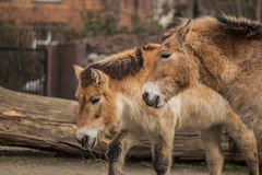 Two beautiful ponies at zoo in Berlin Royalty Free Stock Photo