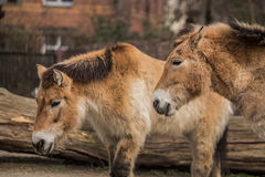 Two beautiful ponies at zoo in Berlin Stock Photos